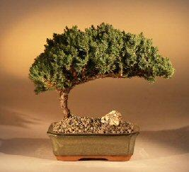 Image of Juniper from bonsaiboy.com